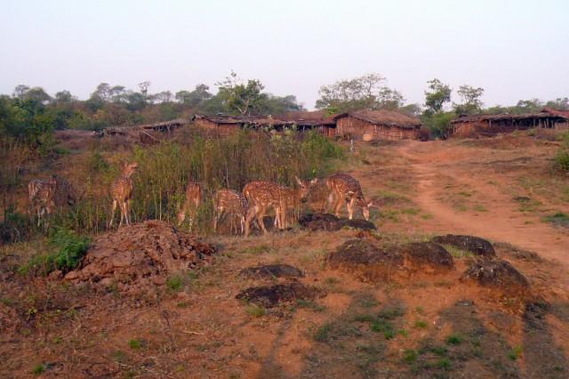Пятнистые олени возле деревни в Гирском лесу