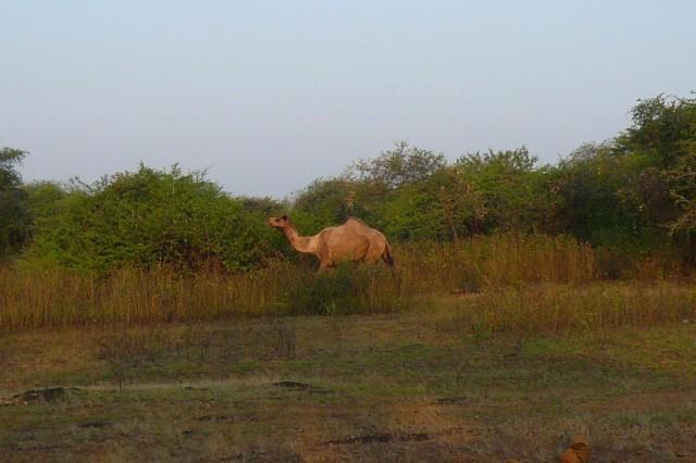 Верблюд домашний