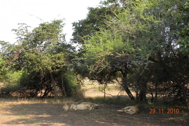 Львы в парке Девалия