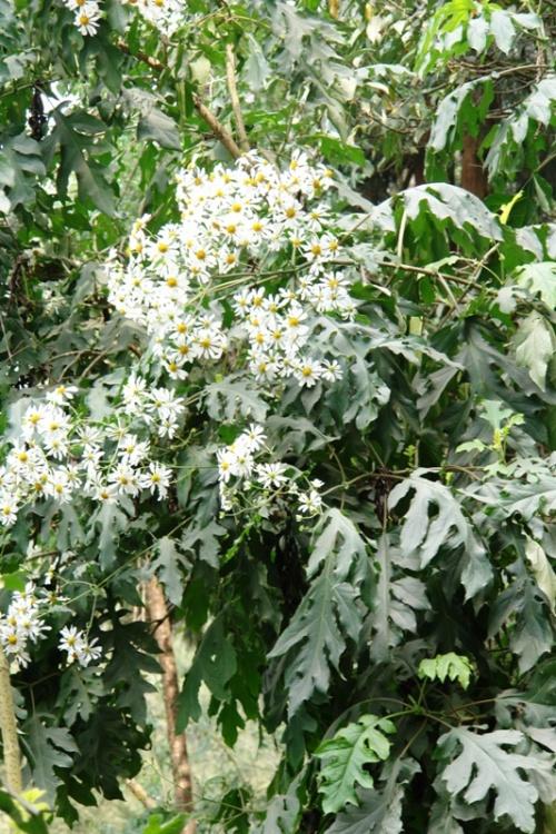 Ромашковое дерево
