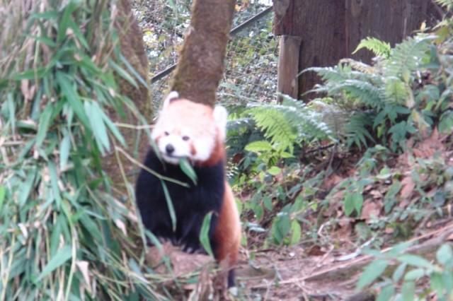Красная панда и бамбук