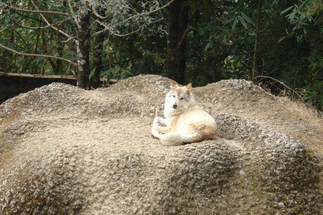 Тибетский волк