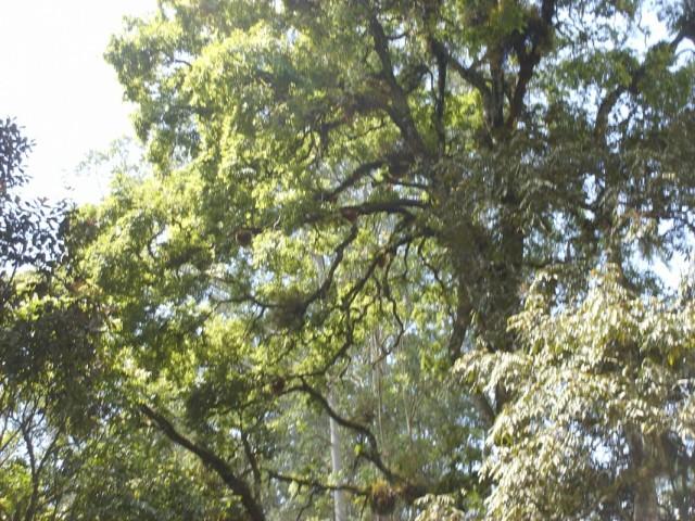 медовое дерево