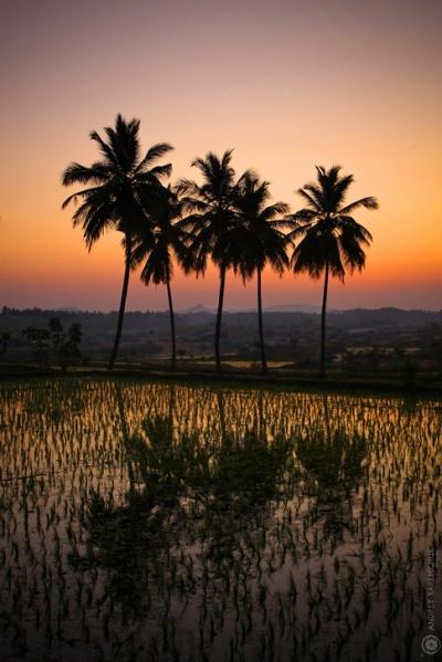 закат над рисовым полем