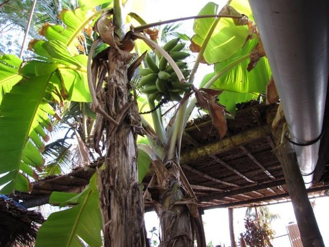 Бананы чутьне падали прямо в рот сидящим посетителям кафе