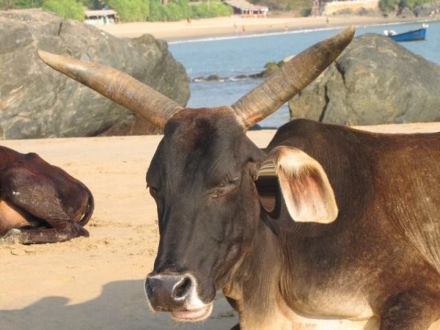 Ведь само название Гокарна переводится как коровье ухо. Ну и флаг им в руки, точнее в рога и копыта
