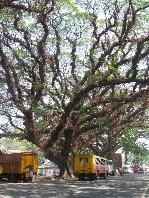 """Гигантские """"Дождливые"""" деревья Форта"""