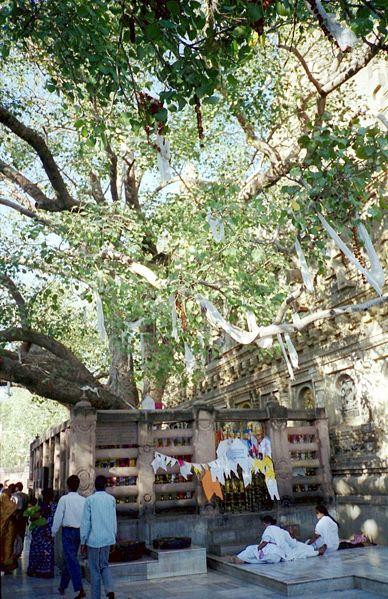Дерево Бодхи в Бодх-Гае