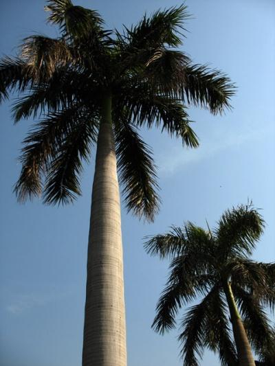 Пальмы в Дели
