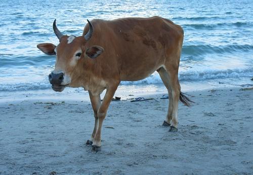 Морская коровка