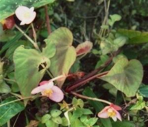 Begonia Tessaricarpa, обнаруженная в Индии
