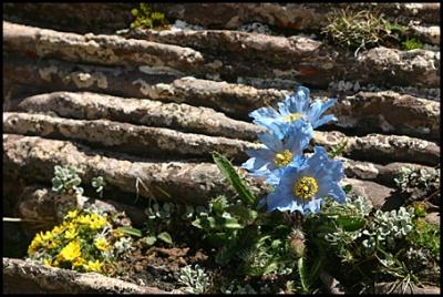 Тибет цветы