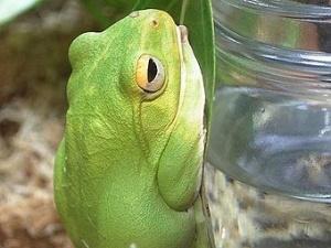 Древесная лягушка вида Rhacophorus