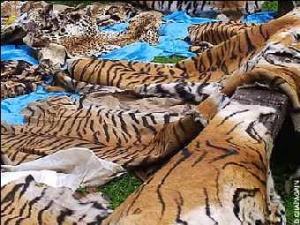 Конфискованные у браконьеров тигриные шкуры. Фото AP