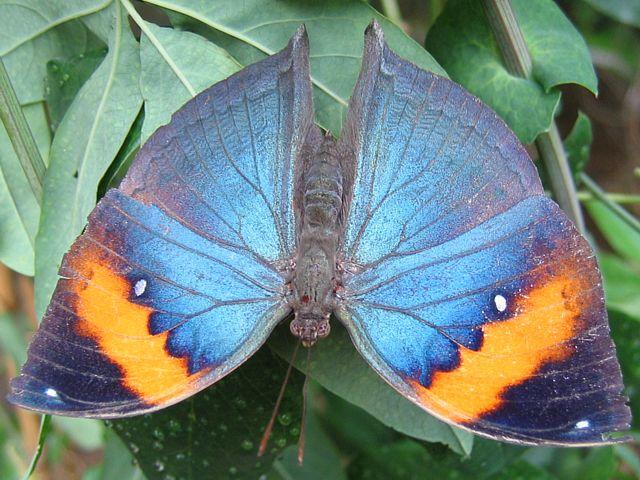 """Редкая бабочка """"Индийский листок"""""""