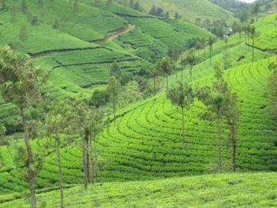 Чайная плантация в Керале (Индия)