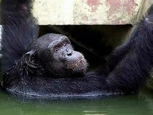 Шимпанзе в зоопарке Калькутты.