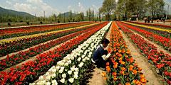 Царство тюльпанов Сирадж-Багх