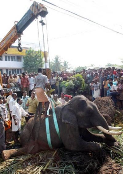 Раненого слона осторожно обвязывают ремнями, чтобы с помощью крана поднять с дороги