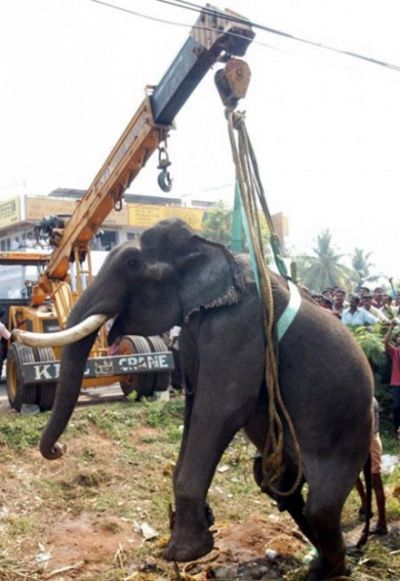 Кран медленно поднимает слона