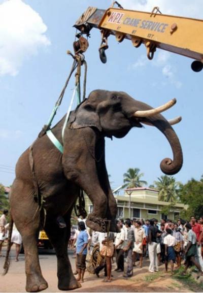 Рядом готов грузовик, который отвезет слона в больницу