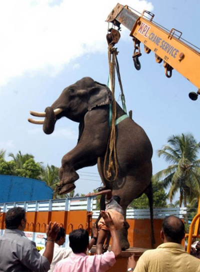 Слона опускают в грузовик