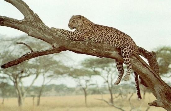 Леопард в Индии