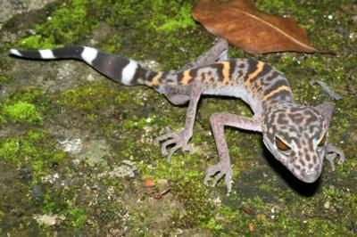 Леопардовый ящер