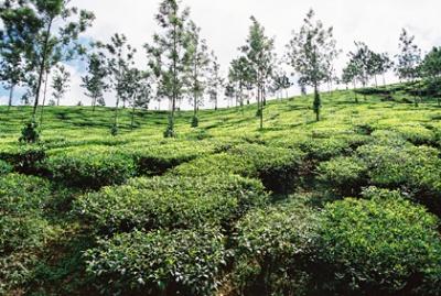 Чайные плантации на юге Индии