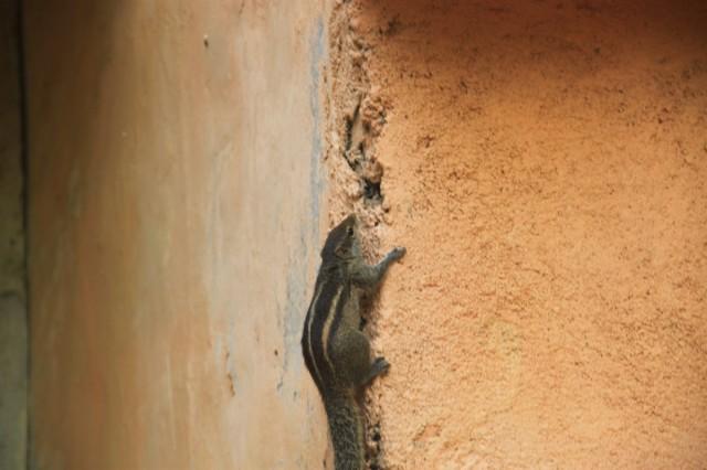 Азиатский бурундук в Хиккадуве