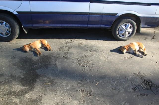 И, конечно, собаки (не совсем дикие). Нувараэлия