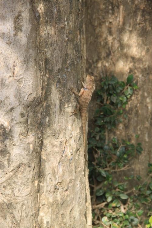 Хамелеон в Сигирии