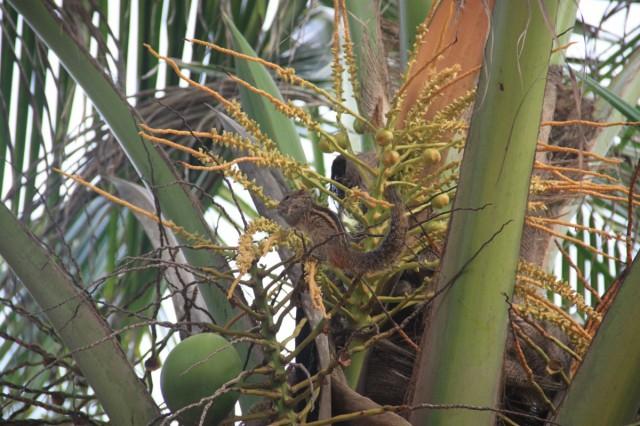Азиатский бурундук ест кокосы